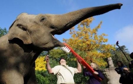 elephant tooth brushing