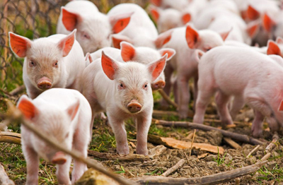 pigs disease